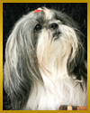 81 ava The Shih Tzu, Toy group