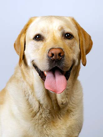 yellow labrador dog picture