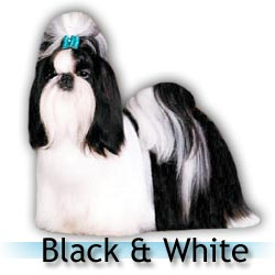 black and white Shih Tzu colors