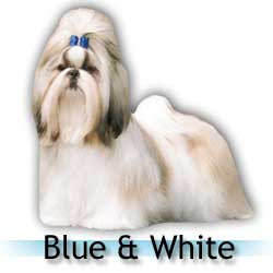 blue and white Shih Tzu colors