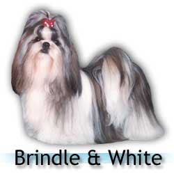 brindle and white Shih Tzu colors