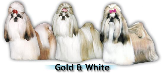 gold white big Shih Tzu colors