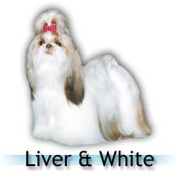 liver and white Shih Tzu colors