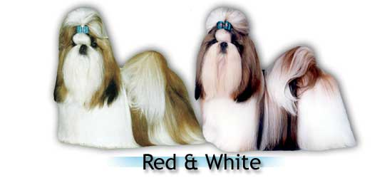red whitebig Shih Tzu colors