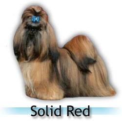 solid red Shih Tzu colors