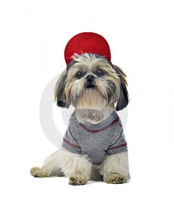 shih tzu all dressed up thumb48612532 250x300 Welcome