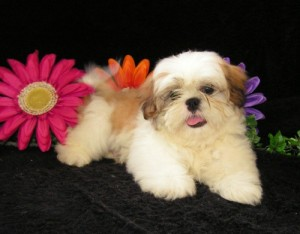 Baby Cody 300x234  Happy Shih Tzu puppy customers!!!