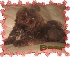 Bear xmas  Happy Shih Tzu puppy customers!!!