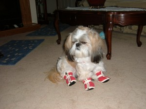 Bourke and his new shoes 300x224  Happy Shih Tzu puppy customers!!!