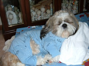 Dooney in Pajamas 300x224  Happy Shih Tzu puppy customers!!!