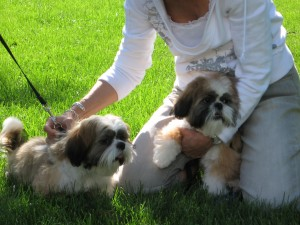 IMG 1761 300x225  Happy Shih Tzu puppy customers!!!