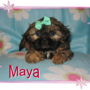 Maya 300x299  Happy Shih Tzu puppy customers!!!