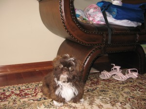 Mocha 012 300x225  Happy Shih Tzu puppy customers!!!