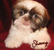 Shawny  Happy Shih Tzu puppy customers!!!