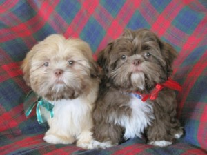 TNC 300x225  Happy Shih Tzu puppy customers!!!