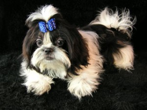 baby boy blue1 300x225  Happy Shih Tzu puppy customers!!!