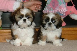 dooney and bourkey op 624x416 300x200  Happy Shih Tzu puppy customers!!!