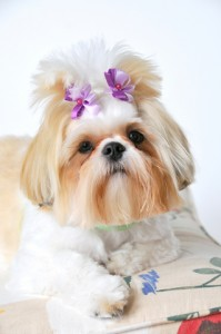 dreamstime 5954566 199x300  Happy Shih Tzu puppy customers!!!