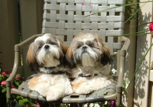 get attachment.aspx 300x210  Happy Shih Tzu puppy customers!!!