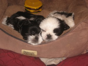 imported photos 00002 300x225  Happy Shih Tzu puppy customers!!!