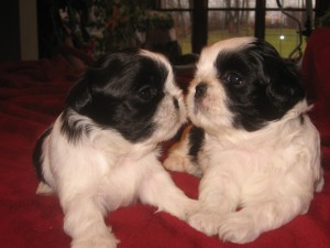imported photos 00207 300x225  Happy Shih Tzu puppy customers!!!