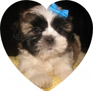 puppies 001 300x292  Happy Shih Tzu puppy customers!!!