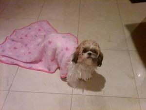 samanthas baby 300x225  Happy Shih Tzu puppy customers!!!