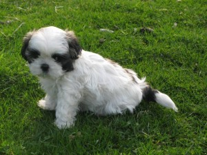 white baby boy 300x225  Happy Shih Tzu puppy customers!!!