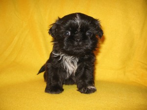 Cathys Gracie 005 300x225 Puppies for sale page