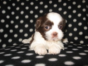 Gabby and Tootsies babies 003 300x225 Puppies for sale page