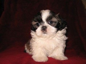 Gabbys babes 006 300x225 Puppies for sale page