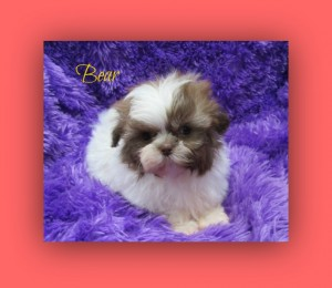 IMG 2960 300x260 Puppies for sale page