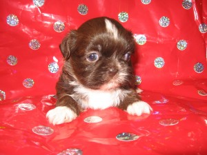 Lulus babies 013 300x225 Puppies for sale page
