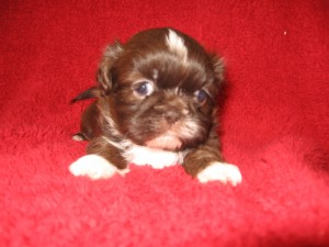 Lulus boys 009 300x225 Puppies for sale page
