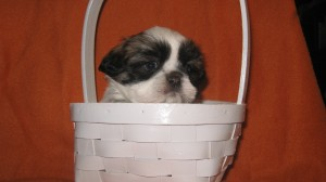 Lulus liver babes 011 300x168 Puppies for sale page