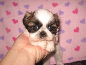 Ritas lil girl 002 300x225 Puppies for sale page