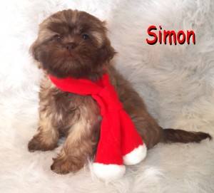 Simon 9 300x271 Puppies for sale page