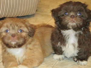 Teddy n Chester 300x225 Puppies for sale page