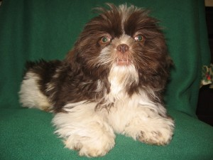 Tootsie Jr. Dec. 24th 002 300x225 Puppies for sale page