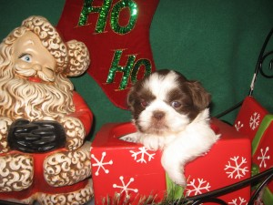 Xmas babes 001 300x225 Puppies for sale page