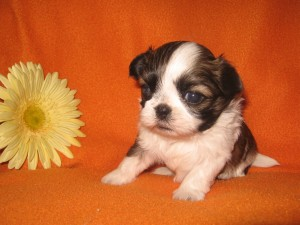 babies 001 300x225 Puppies for sale page