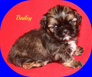 bailey9 300x253 Puppies for sale page