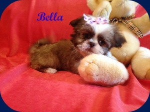 bella 8 9 14 300x225 Puppies for sale page