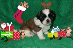 blitzen 300x200 Puppies for sale page
