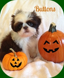 buttons 8 9 142 246x300 Puppies for sale page