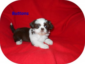 buttons6 300x225 Puppies for sale page