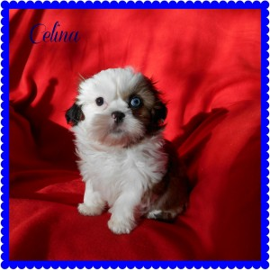 celina 300x300 Puppies for sale page