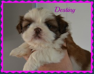 destiny 4 weeks 300x238 Puppies for sale page