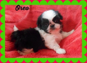 oreo3 300x218 Puppies for sale page