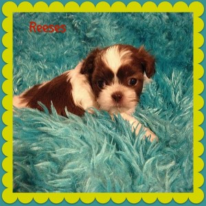 reeses1 300x300 Puppies for sale page
